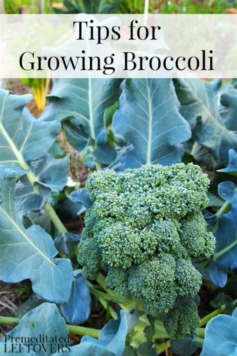 Gardening Broccoli Tips For Growing Broccoli In Your Garden