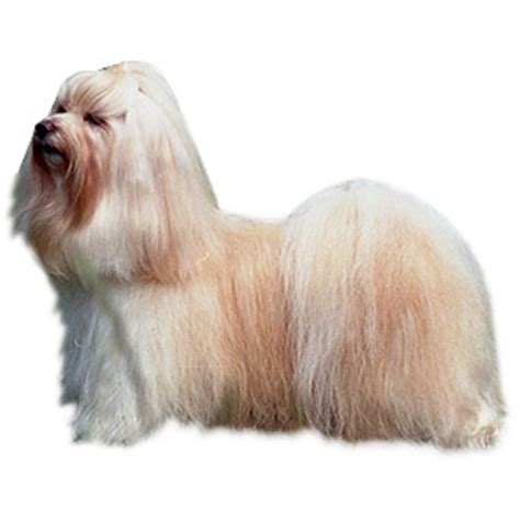 havanese haircut styles breed specific hairstyles