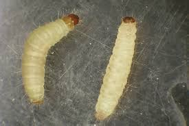 Identify Kitchen Faucet small white worms in or under clothes all about worms