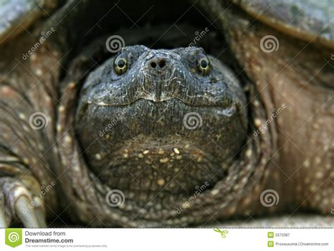 snapping turtle head stock image image  hide animal