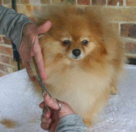 grooming your pomeranian 81 best grooming spitz images on doggies pet grooming and haircuts