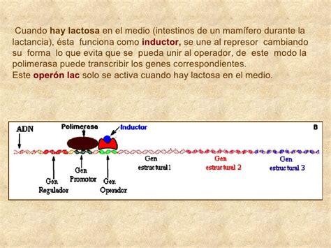 la expresi 243 n botellita de jerez en chapulin colorado y el inductor regulacion genetica 28 images inductor