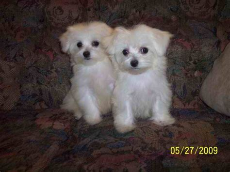 breeders in nc maltese dogs for sale in nc breeds picture