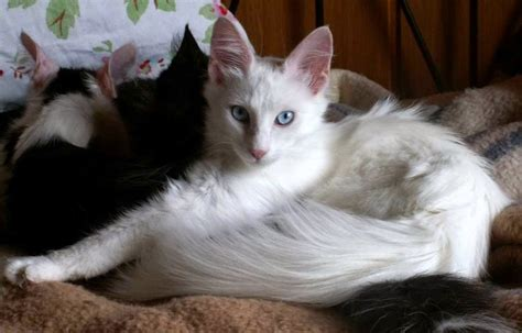 Shoo Untuk Kucing Anggora cara merawat kucing anggora dengan benar ragam informasi