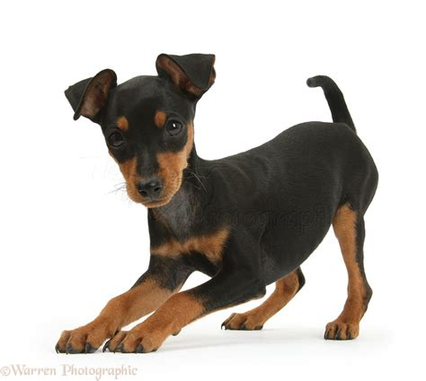 playful puppy playful miniature pinscher puppy photo wp41563