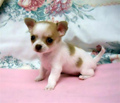 oregon puppies for sale teacup chihuahua puppies for sale in oregon on this ad portland