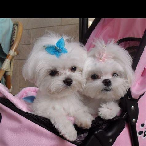 why has my maltese terrier got thin hair best 25 baby maltese ideas on pinterest cute baby dogs