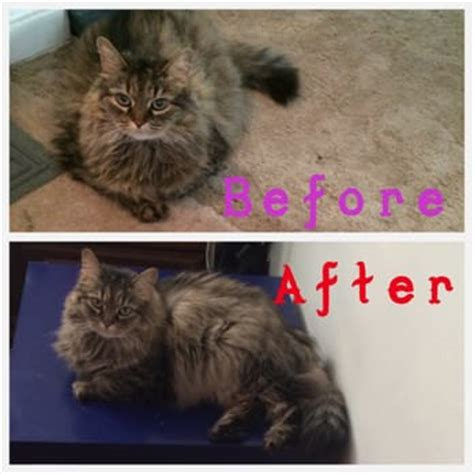Before And After Cat Haircuts | pet stop 11 reviews pet sitting 3360 library rd