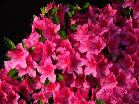 pictures of flowers pictures of flowers evergreen azalea