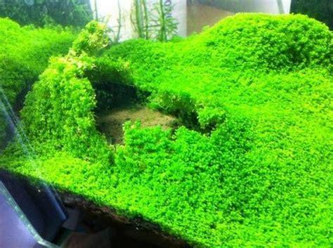 cara membuat aquascape tanpa tanaman 5 jenis tanaman karpet aquascape terbaik bibitbunga com