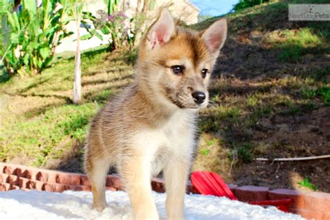 pomeranian husky for sale los angeles are pomsky puppies hypoallergenic breeds picture