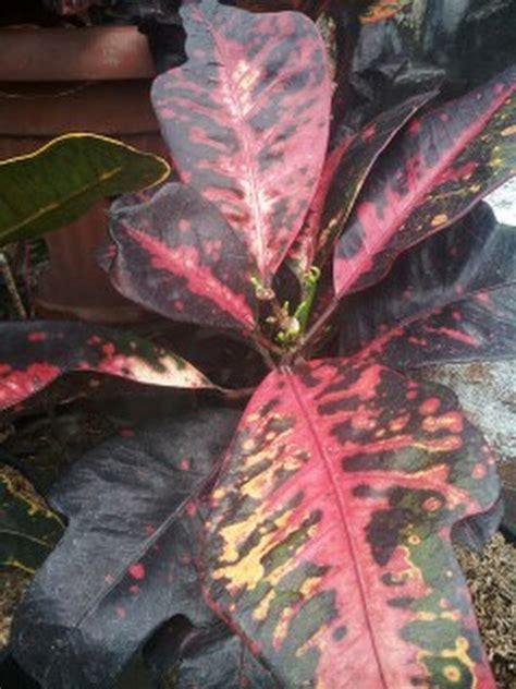 Bibit Tanaman Puring Oscar tanaman bunga puring bintang 9 anget anget