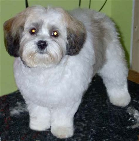 how to groom shih tzu puppy a shih tzu in a managable trim tips on styling dogs shih tzu
