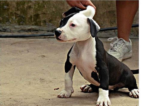 black and white pitbull puppy picture of a white and black pitbull puppy jpg 3 comments hi res 720p hd