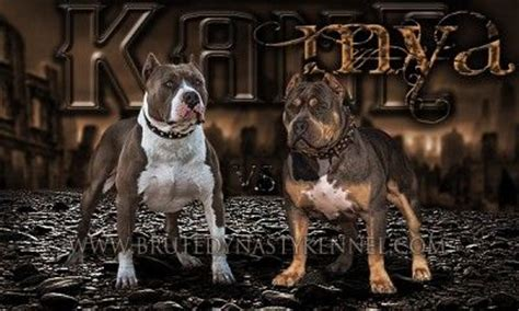 pitbull puppies for sale in maine tri color american bully pitbull puppies for sale breeder located in california and