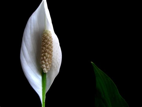 peace lily the best plants for your office and home see