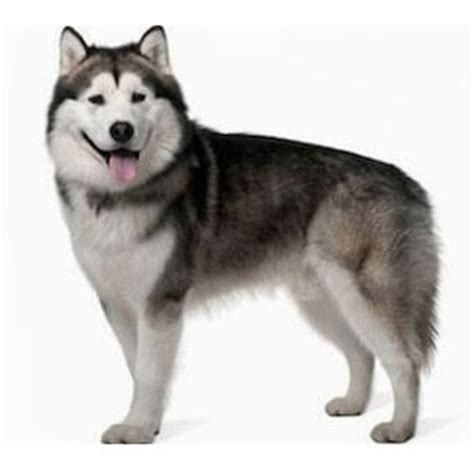 alaskan names for dogs alaskan malamute breed 187 information pictures more