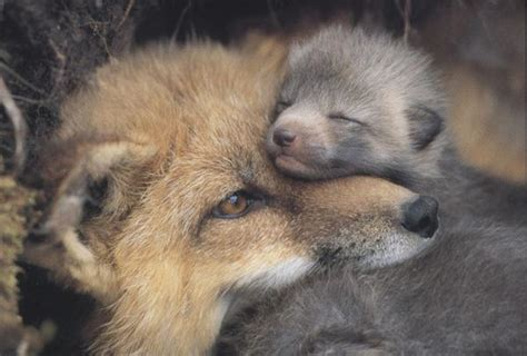 mothers tender love fox kit ken jenkins photography