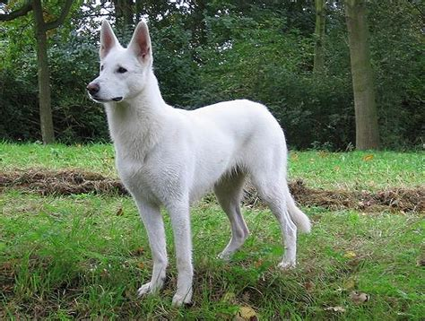 white swiss shepherd puppies the gallery for gt white shepherd puppy