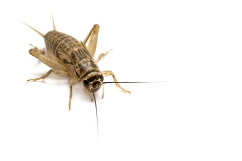 House Cricket Pest Control Facts Information Pest Control Com