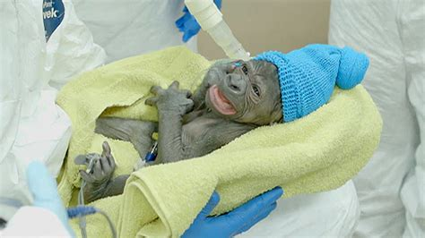 animal c section meet a baby gorilla born via rare c section today com