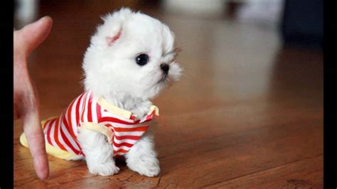 images of teacup dogs maltese teacup www pixshark images galleries with