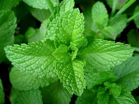 peppermint happy bee herbs