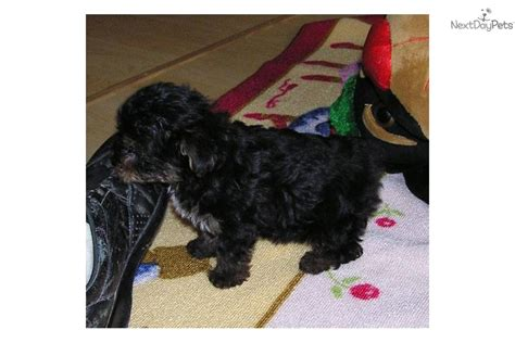 miniature yorkie poo puppies for sale yorkiepoo yorkie poo puppy for sale near fayetteville arkansas 6e37975c 7a91