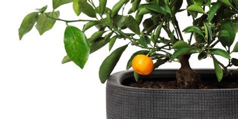 piante da frutta in vaso frutta in vaso si pu 242 cose di casa