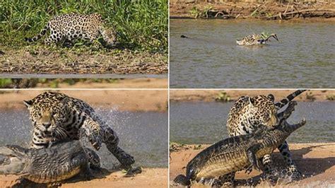 jaguar hunts crocodile jaguar stalking and ambushing caiman from the water