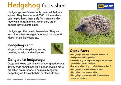 fact card template ks1 hedgehogs facts search classroom hedgehog
