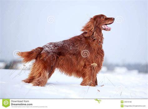 irish setter dog time red irish setter dog stock photo image of white field