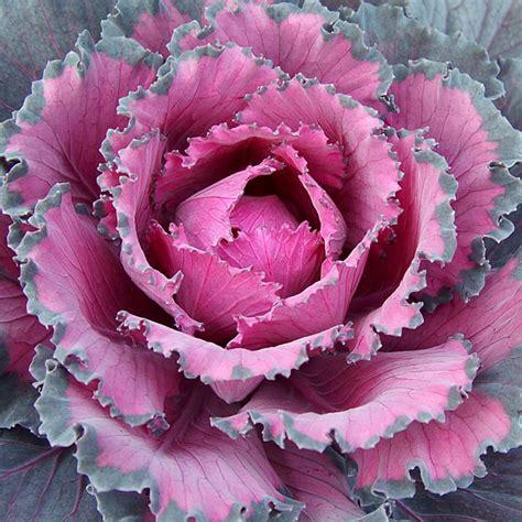 ornamental cabbage indoors flowering cabbage ornamental indoors brassica oleracea