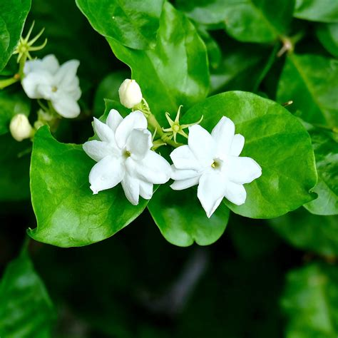 philippine jasmine fragrant jasmine sambac easy