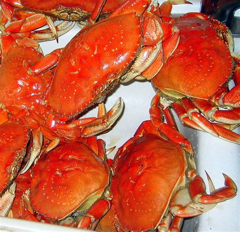 Whats In Season Dungeness Crabs by Dungeness Crab Season Is Here Flickr Photo