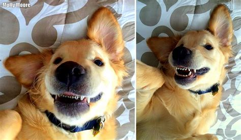 golden retriever with braces no one on earth has looked this in braces