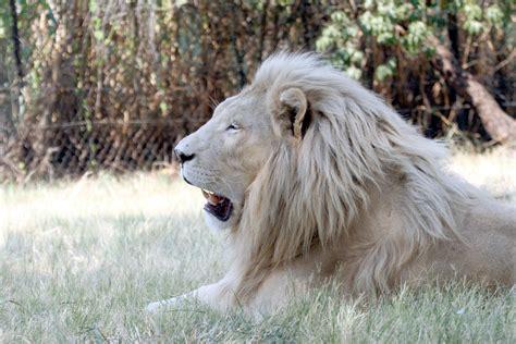 imagenes leon blanco fotos queres imagenes de felinos salvajes en hd entra taringa