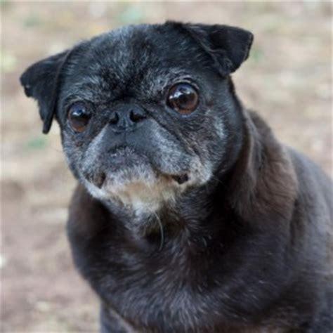 black pug rescue black pugs archives page 2 of 2 colorado pug rescue