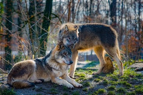 wolves mate  life animal hype