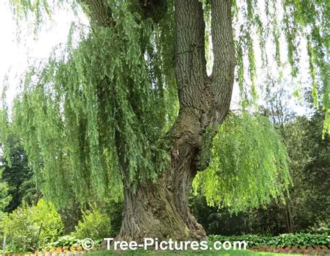 of willow willow tree pictures images photos of willows