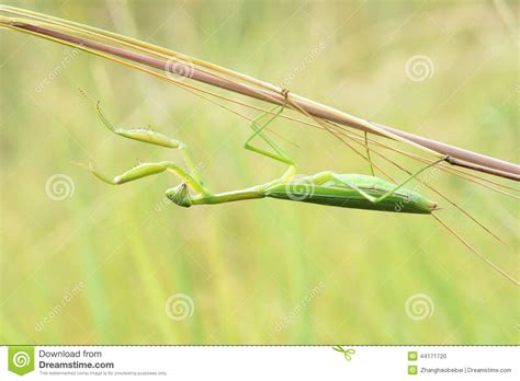 Grass Scientific Name by Mantis Stock Photo Image 44171720