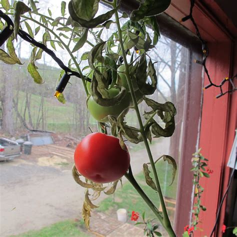Windowsill Tomatoes Growing Tomatoes From Seed Henry Homeyer