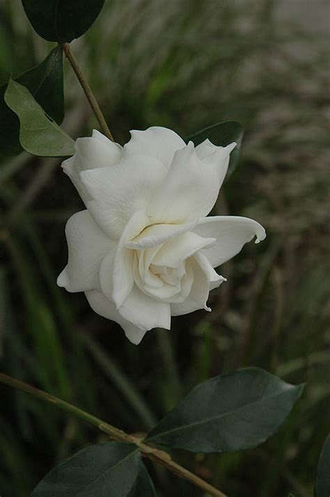 love gardenia gardenia jasminoides aimee
