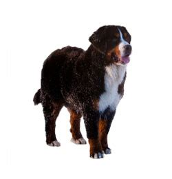 bernese mountain puppies cost insurance for the top breeds across canada the trupanion