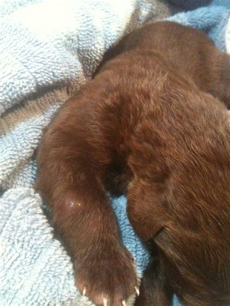 chesador puppies hi i nine 11 day chesador puppies the runt of the