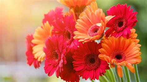 gerbera flowers bouquet  wallpapers hd wallpapers id