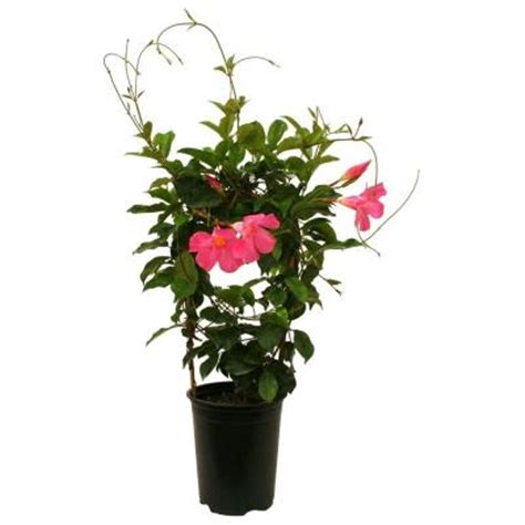 delray plants mandevilla pink 6 in pot 6mandepink the