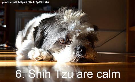 when will my shih tzu calm 7 reasons why i my shih tzu shih tzu