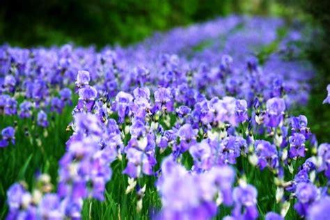 fiore di giaggiolo giaggiolo il fiore dei miracoli una grande festa a san