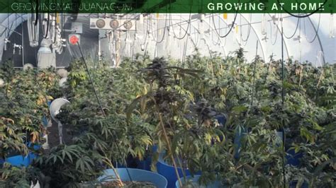growing at home growing marijuana at home growing